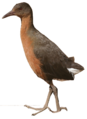 Rouget's Rail.png