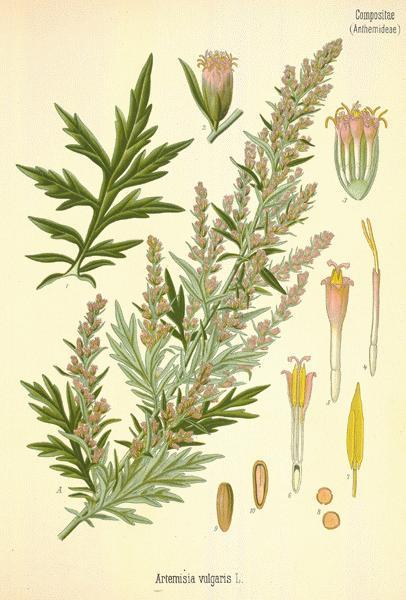 Alsem Artemisia Vulgaris L.jpg