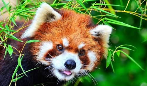 Red Panda India.jpeg