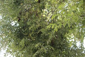 Sofora japonica G 2161.jpg