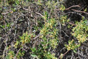 Muehlenbeckia thamnifolia G 3003 sf Mostazal.jpg
