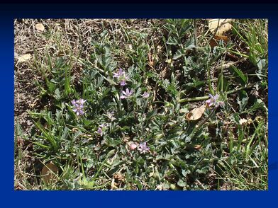 Erodium cicutarium n1.jpg