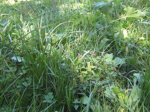 Hualcachu C eragrostis 3647.jpg