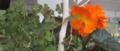 Begonia crop.png