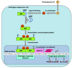 AR signaling pathway.png
