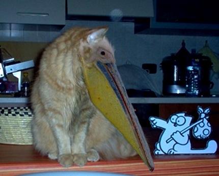 Ibrido gatto pellicano.jpg