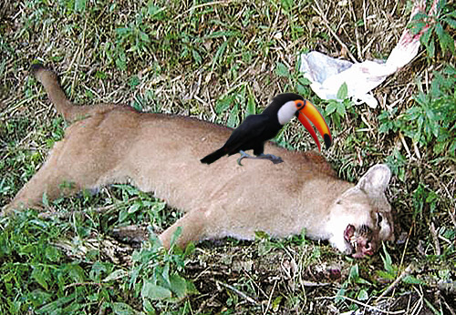 Tucano sopra un puma morto.jpg