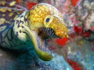Anguilla bocca spalancata.jpg