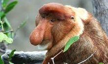 Nasica scimmia con proboscide.jpg