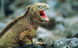 Iguana con bocca aperta.jpg