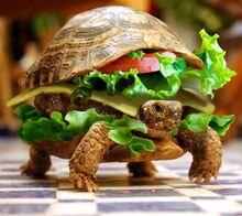 Tartaruga hamburger.jpg