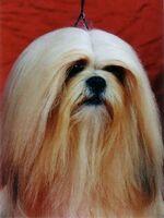 Cane dal pelo lungo.jpg