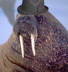 Tricheco mafioso con sigaro e cappello.jpg