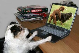 Cane che guarda due cani fare sesso su un pc.jpg