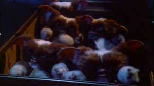 A sinistra la prima cucciolata di Gizmo e a destra la seconda. Qualcosa è andato storto durante il parto...