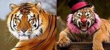 Tigre in natura e al circo.jpg