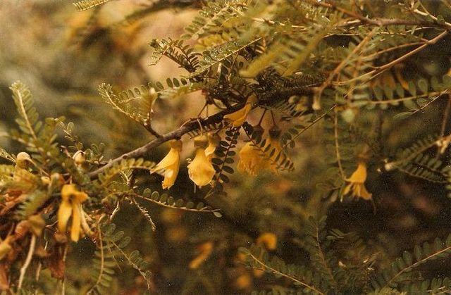 File:Sophora toromiro 2bc.jpg