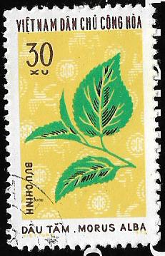 Morus alba 20201220.png