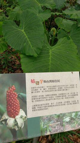 File:Araceae IMG0583.jpg