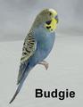 Mostdigitalcreations-Budgie.png