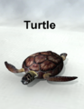 Mostdigitalcreations-Turtle.png