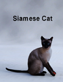 Mostdigitalcreations-Siamese Cat.png