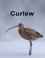 MostDigitalCreations-Curlew.png