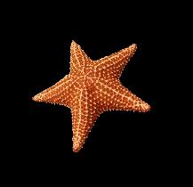 Estrella de mar.png