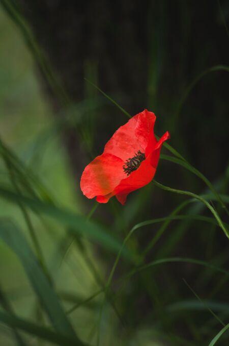 Poppy 10.jpg