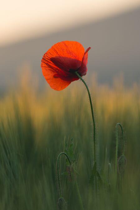 Poppy 07.jpg