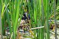 Brünning Blaesshuhn auf Nest 01.jpg