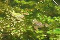 Kleiner Wasserfrosch 03.jpg