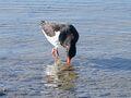 Austernfischer 04.jpg
