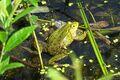 Kleiner Wasserfrosch 01.jpg