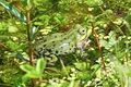 Kleiner Wasserfrosch 02.jpg