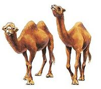 Animals-camel-1.jpg